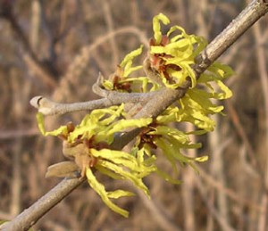 fresh pond witch hazel on bare branch first bloom