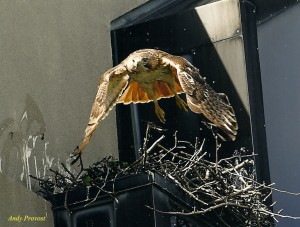 Ruby flying out of nest showing red tail
