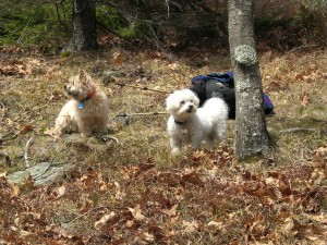 cindy and juniper in dry leaves by a tree with bole and my fanny pack behind them North Pack Monadnock